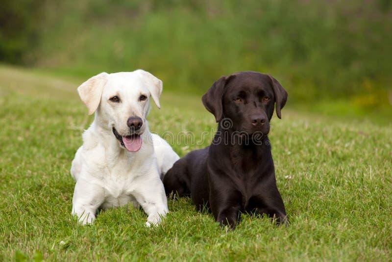 布朗和空白拉布拉多猎犬 图库摄影