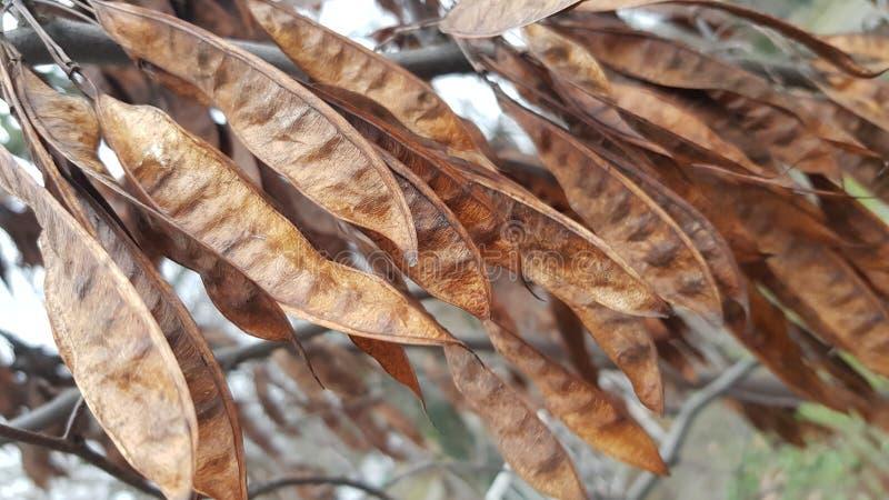 布朗和金子烘干了在树的金合欢荚在秋季 免版税图库摄影