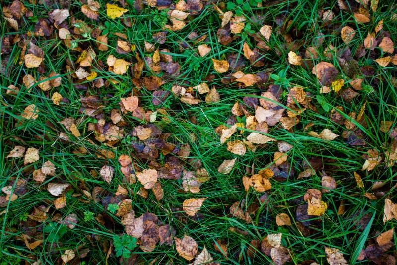 布朗和黄色白杨木叶子在湿绿草在森林里在秋天 秋天自然在俄罗斯 图库摄影