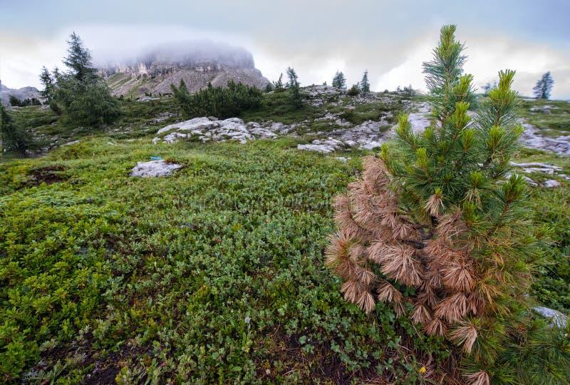 布朗和绿色杉木和登上在背景的Averau, Falzarego通行证,白云岩,意大利 库存照片