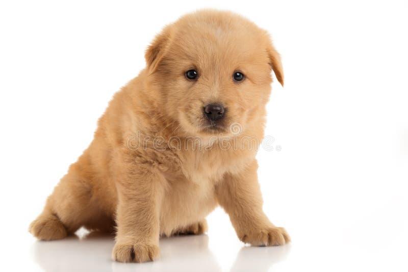 布朗咸菜小狗 在白色背景的画象 免版税库存照片