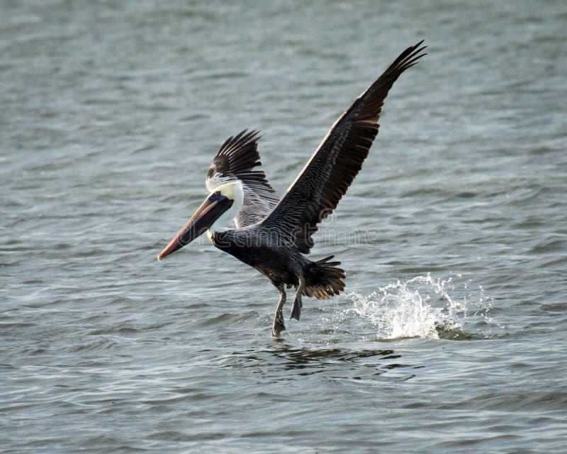 布朗在海湾的鹈鹕着陆 免版税库存图片