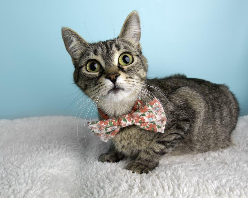 布朗在演播室和佩带蝶形领结的虎斑猫画象 库存照片