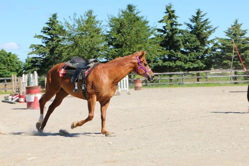 布朗在珊瑚的马训练 免版税图库摄影