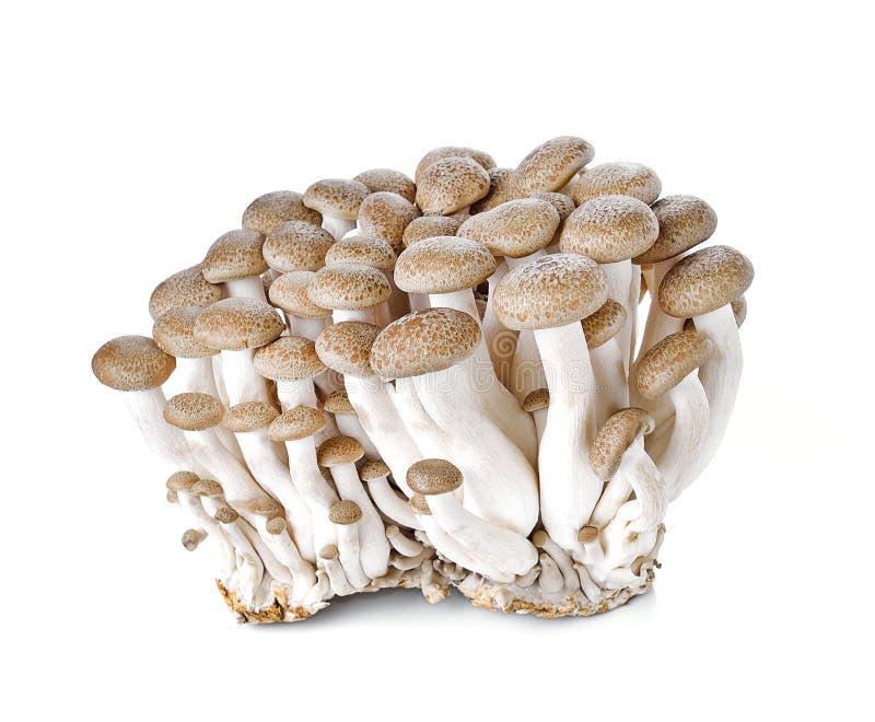 布朗在白色背景隔绝的山毛榉蘑菇 免版税图库摄影