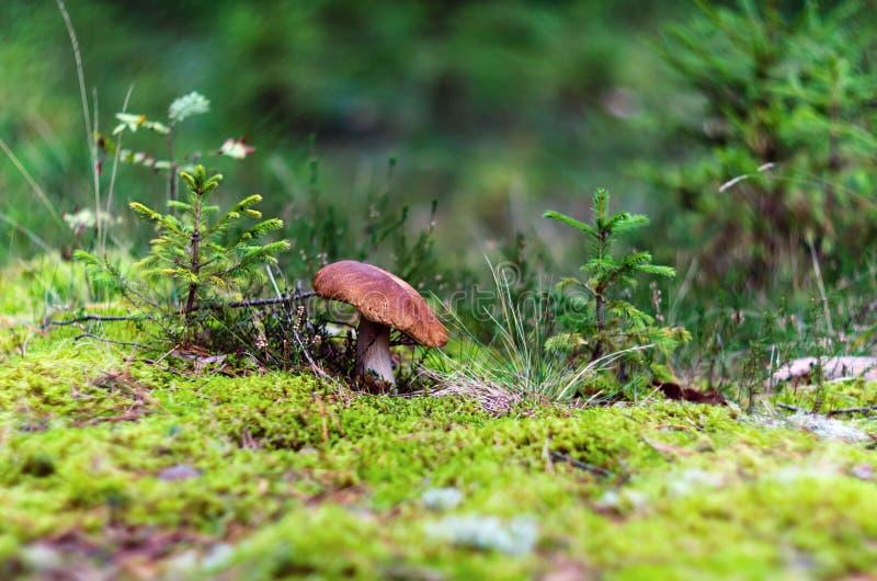 布朗在青苔的盖帽蘑菇在夏天 免版税库存图片