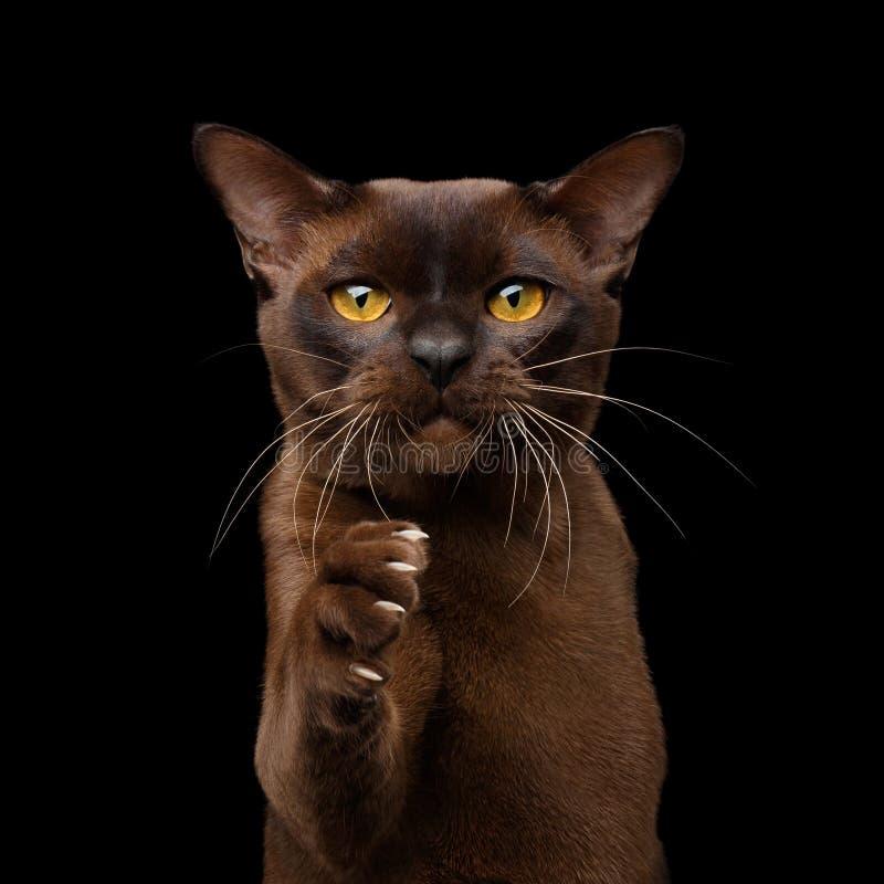 布朗在黑背景隔绝的缅甸猫 免版税库存图片