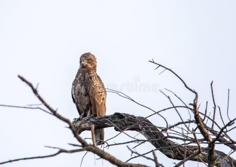 布朗在Nxai平底锅Nationalpark的蛇老鹰在博茨瓦纳 库存照片