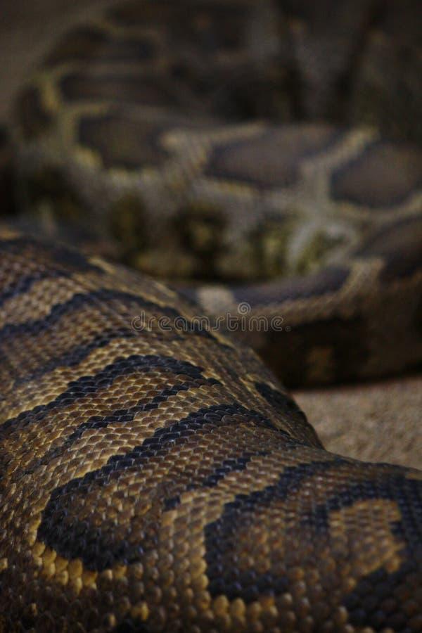 布朗大蛇皮纹理 免版税库存图片