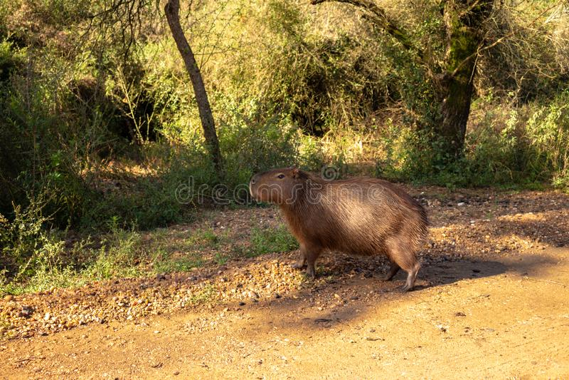 布朗头发领域动物 称居住在领域和在泥浆坑的carpincho的哺乳动物的草食动物 免版税图库摄影