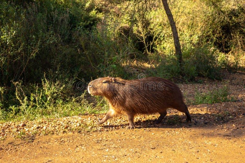 布朗头发领域动物 称居住在领域和在泥浆坑的carpincho的哺乳动物的草食动物 库存照片