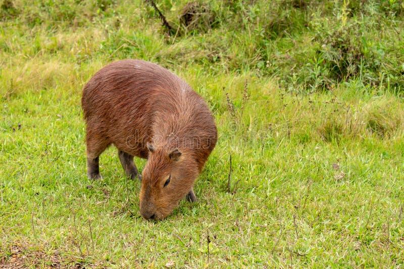 布朗头发领域动物 称居住在领域和在泥浆坑的carpincho的哺乳动物的草食动物 库存图片