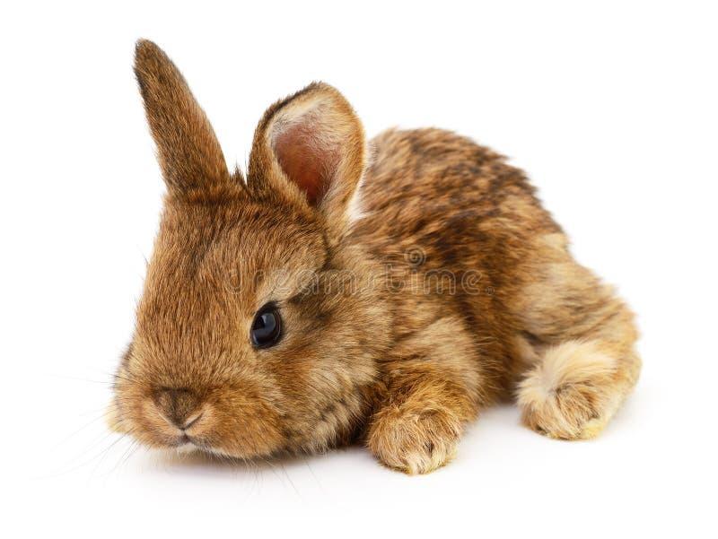 布朗小兔 免版税库存照片