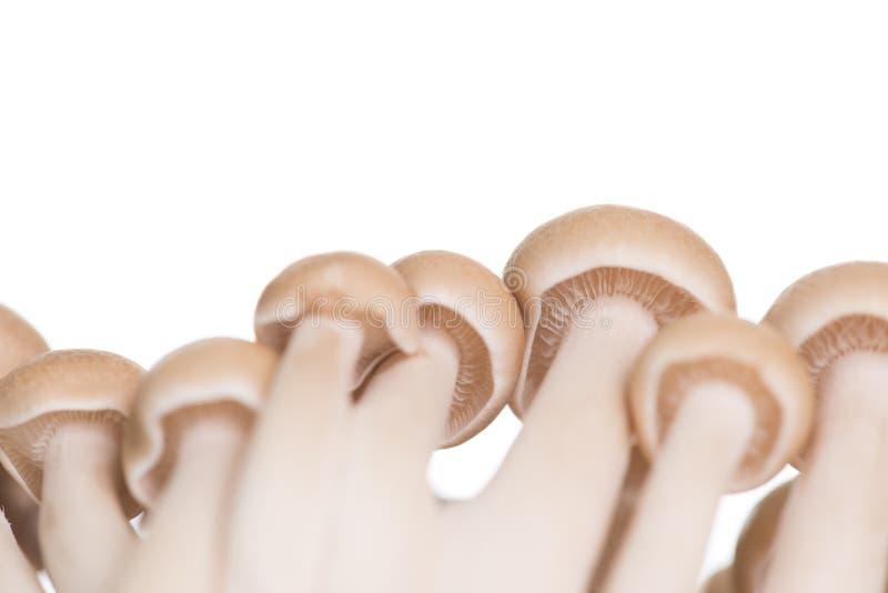 布朗山毛榉采蘑菇或在白色背景的Shimeji蘑菇 库存照片