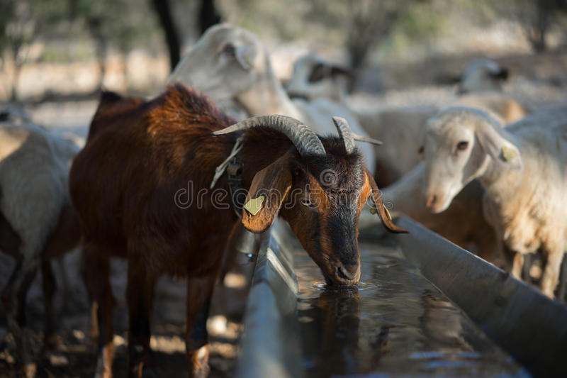 布朗山羊喝 免版税库存图片