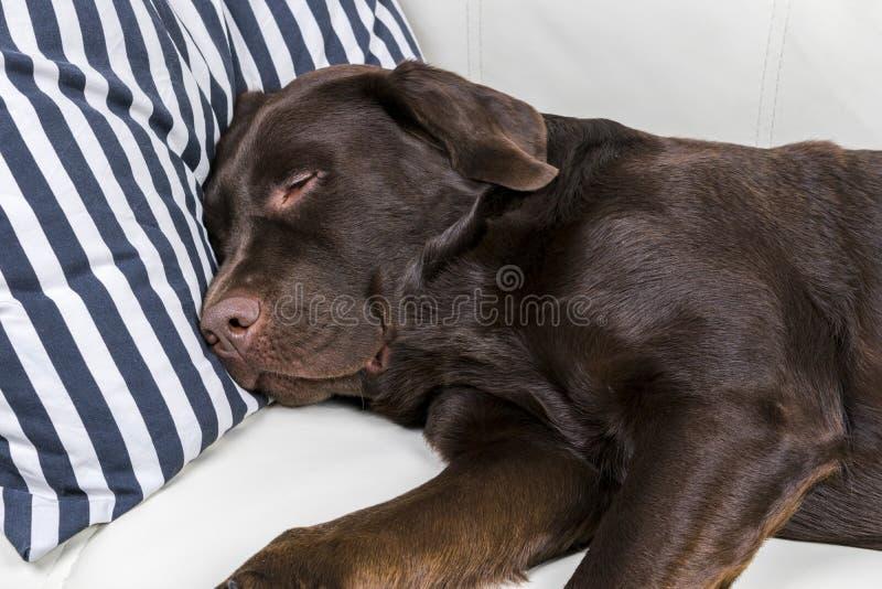 布朗巧克力拉布拉多猎犬狗在有枕头的沙发睡觉 长沙发休眠 年轻逗人喜爱的可爱的疲乏的拉布拉多 库存照片