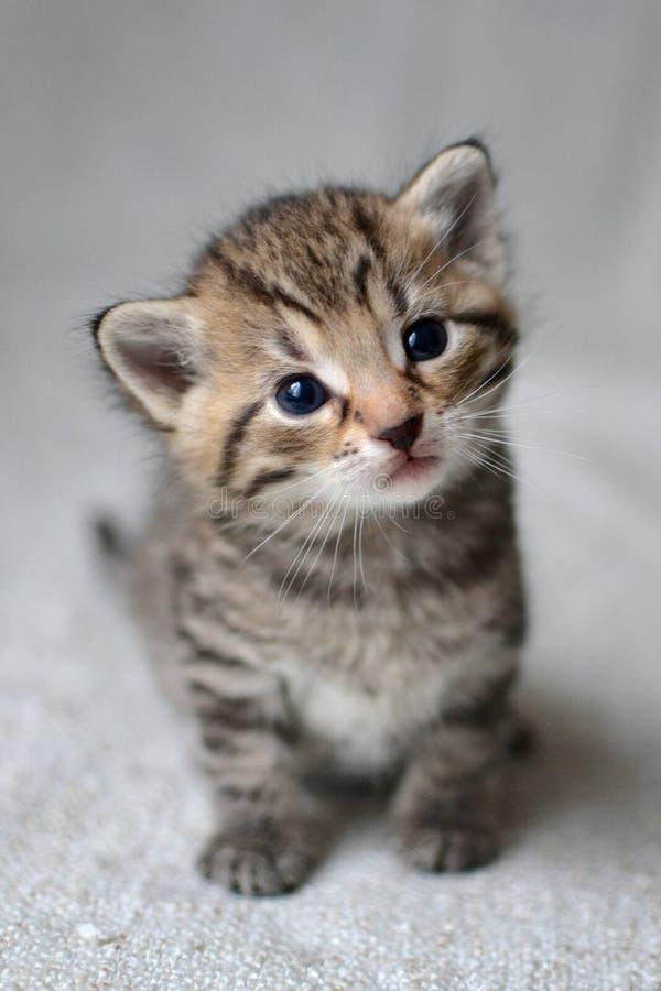 布朗平纹小猫 库存照片