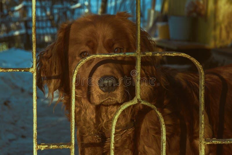 布朗护卫犬 图库摄影