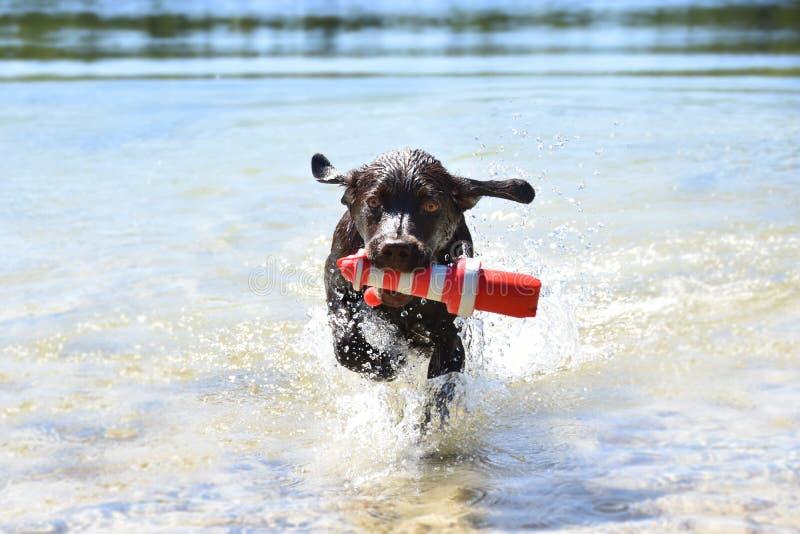 布朗拉布拉多小狗用尽与他玩具使用的水 库存照片