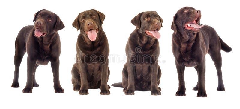 布朗拉布拉多狗看 免版税图库摄影