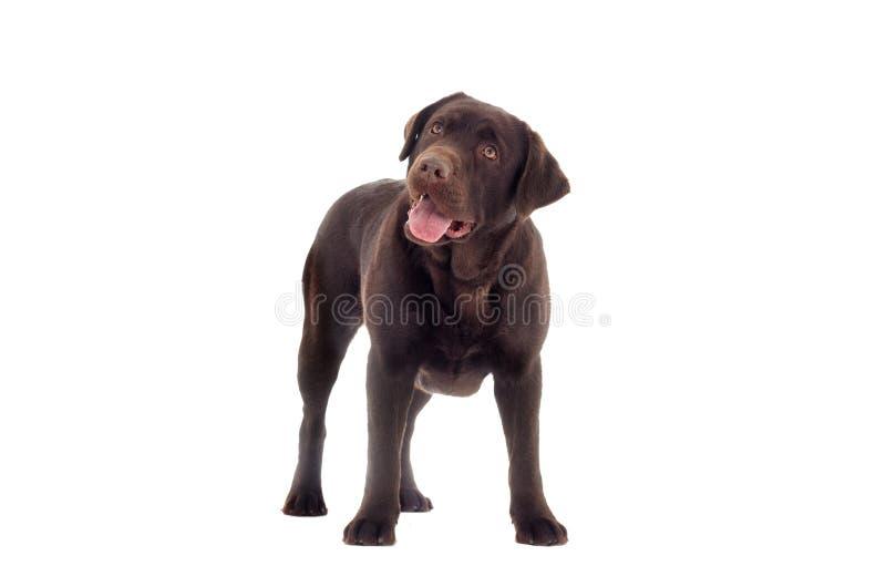 布朗拉布拉多狗神色 免版税库存照片