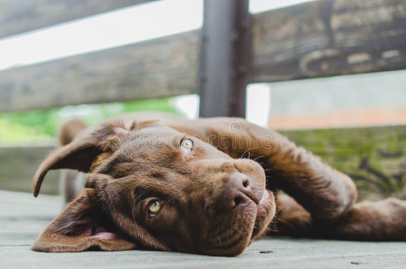 布朗拉布拉多说谎在边的小狗 免版税库存图片
