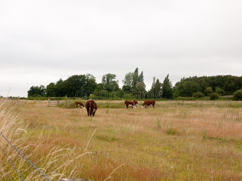 布朗母牛在领域农场土地放牧草甸阴云密布 免版税图库摄影