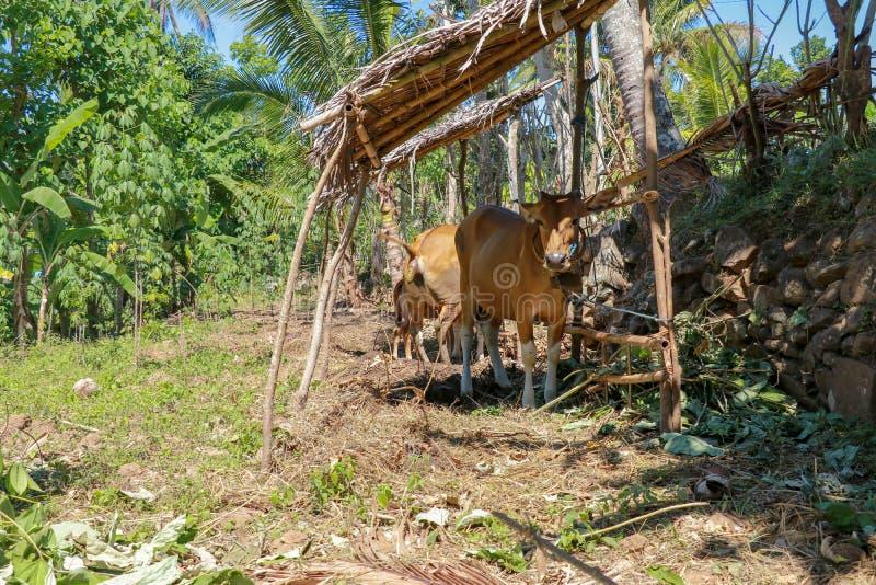 布朗母牛坐地球地面 肉用牛站立在一个竹棚子下并且排泄 对地面的拉屎的秋天 免版税库存照片