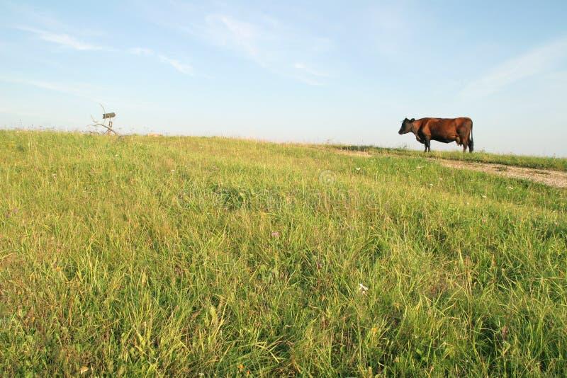 布朗母牛 库存图片
