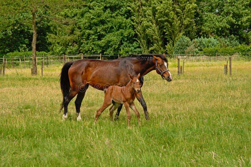 布朗母马和不理智 图库摄影
