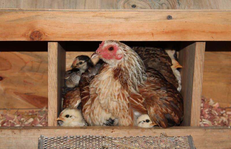 布朗母鸡和小鸡在小屋 库存照片