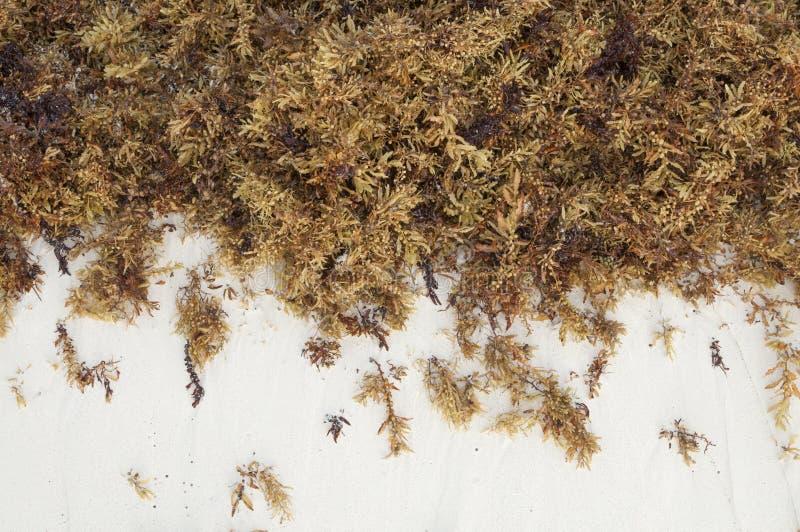 布朗海海藻和白色沙子 图库摄影