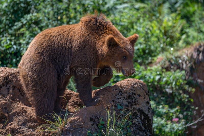 布朗涉及与被举的爪子的岩石 图库摄影