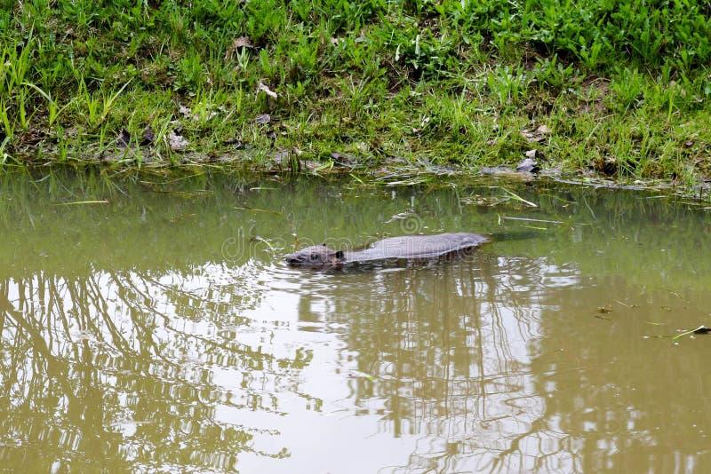 布朗湿狂放与锋利的牙齿和大尾巴水生海狸平凡,啮齿目动物在池塘,有泥泞的棕色wate的一条河漂浮 免版税库存图片