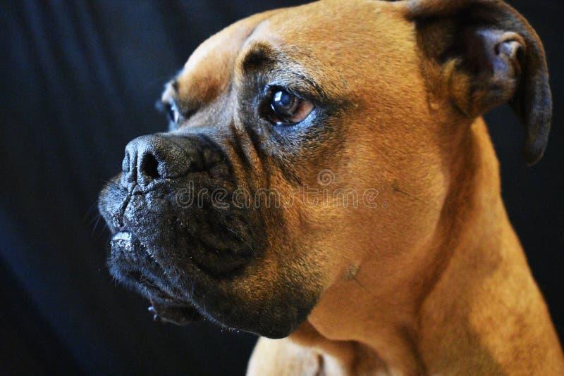 布朗演播室画象的狗关闭 库存照片