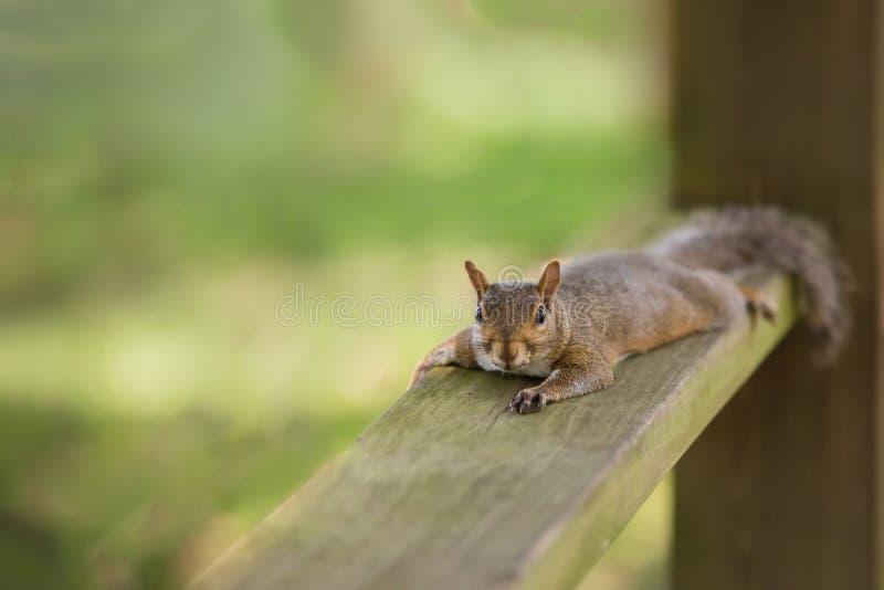 布朗灰鼠 免版税库存照片