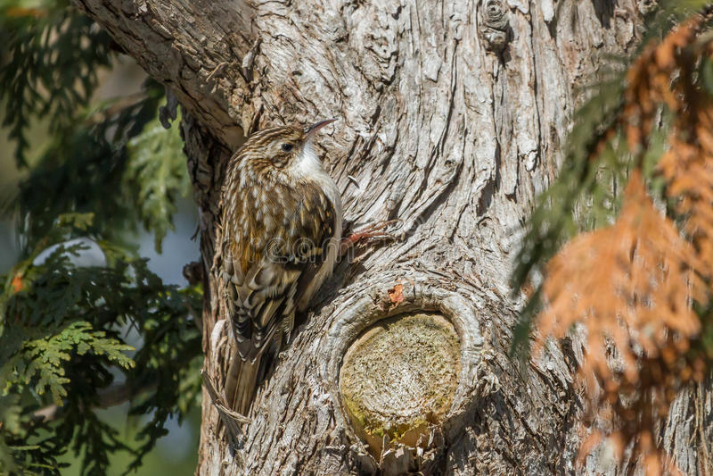 布朗爬行物 免版税库存图片