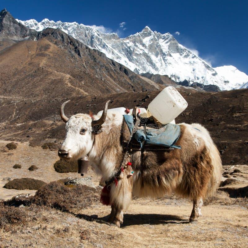 布朗牦牛和登上lhotse -尼泊尔 库存照片