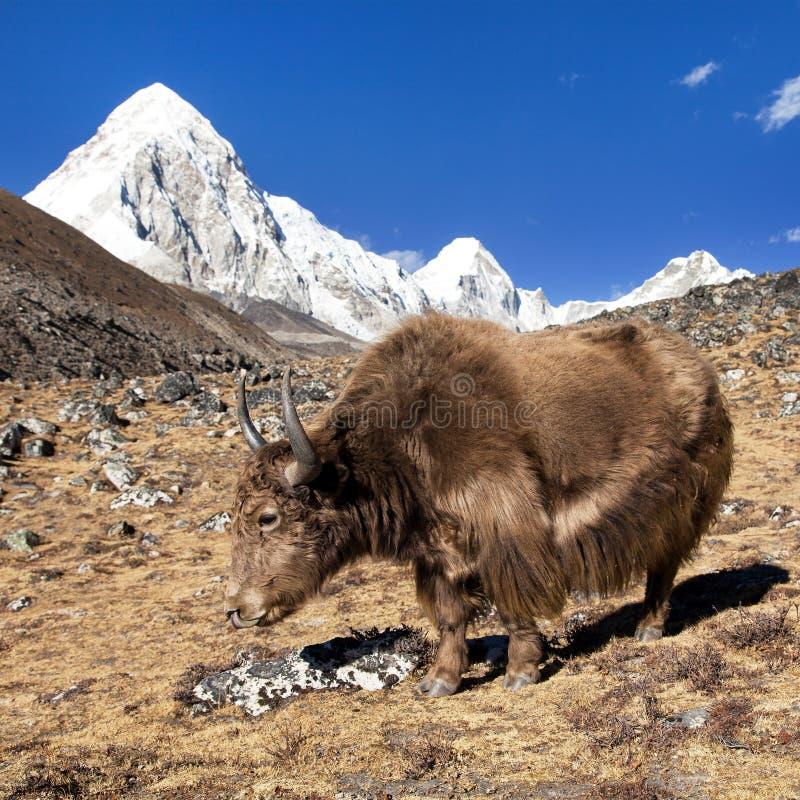 布朗牦牛和登上Pumo ri -尼泊尔喜马拉雅山山 免版税库存照片