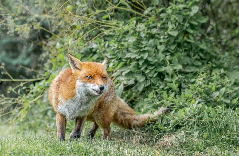 布朗狐狸叫 库存图片