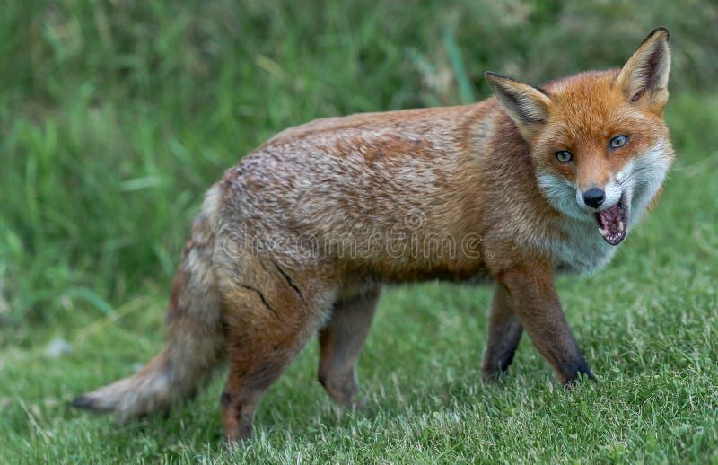 布朗狐狸叫 免版税库存图片