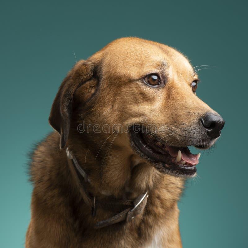布朗狗在演播室 免版税库存图片