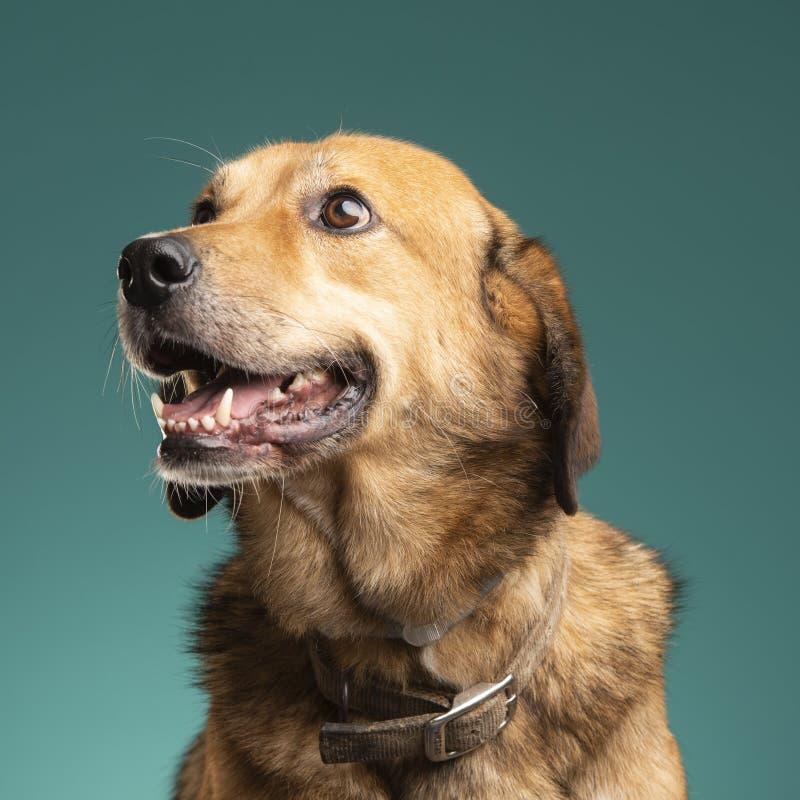 布朗狗在演播室 库存图片