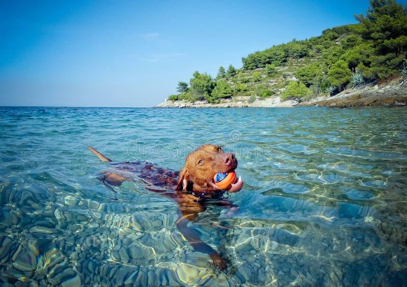 布朗狗游泳在海 免版税库存图片