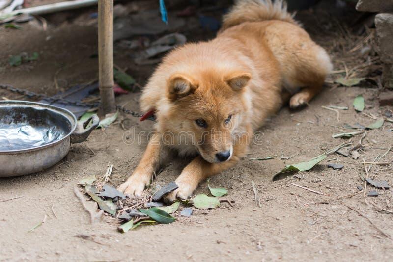 布朗狗 免版税库存图片