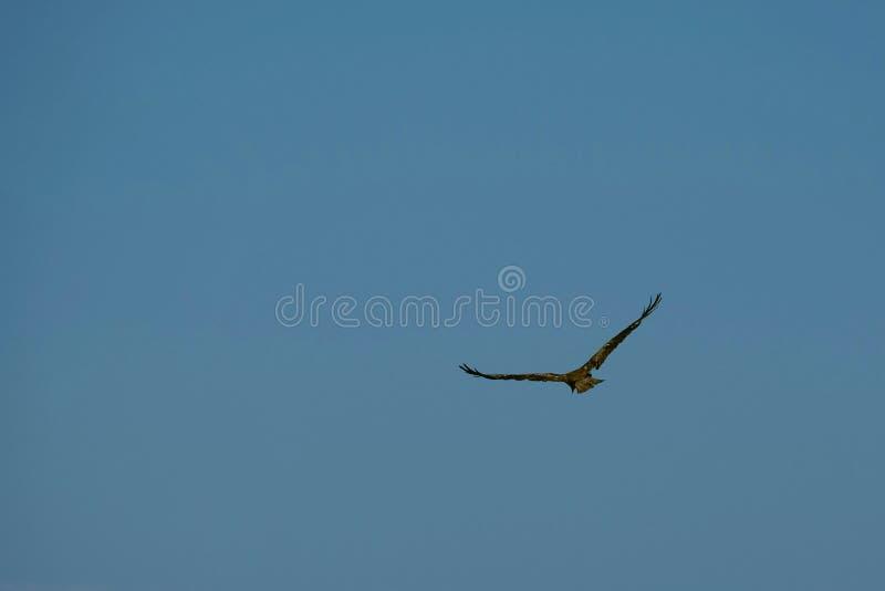 布朗猎鹰和天空蔚蓝 免版税库存图片