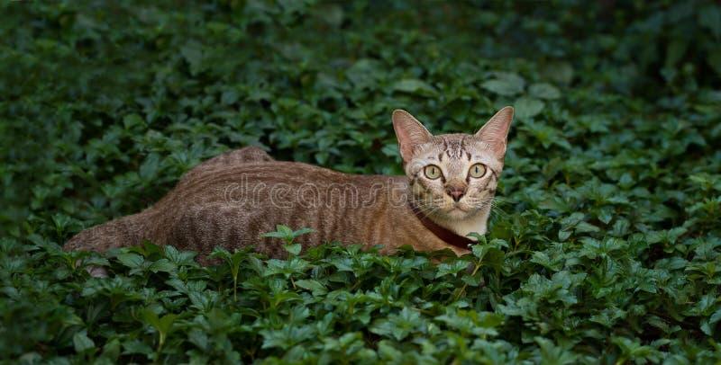 布朗猫,猎人埋伏牺牲者在自然背景中 免版税图库摄影