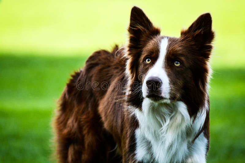 布朗看对照相机的博德牧羊犬 免版税库存图片