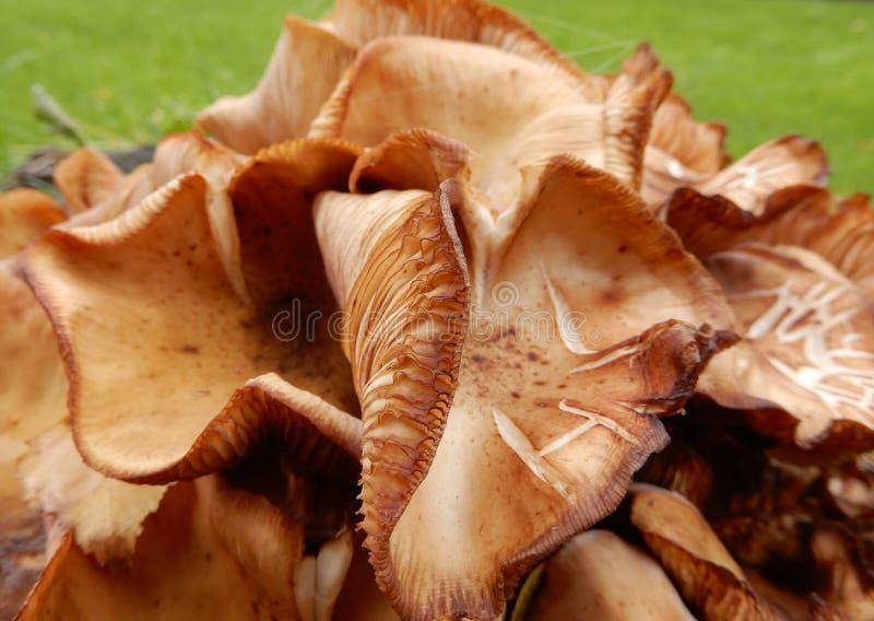 布朗真菌 图库摄影