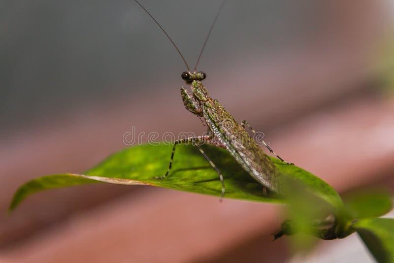 布朗等待绿色的螳螂逃脱 库存图片